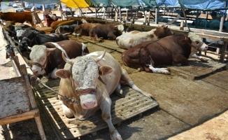 Düzce'de hayvan sayısı 86 bine yaklaştı