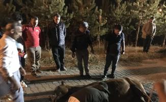 Muş Belediyesi ekiplerinin 3 saatlik at kurtarma operasyonu