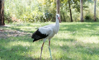Yaralı leylek kışı Tarsus Hayvan Parkı'nda geçirecek