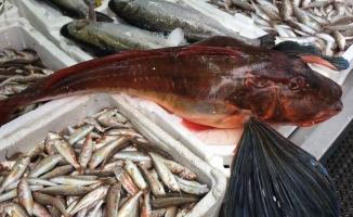 Yıllar sonra ağlara takılan kırlangıç balığı şaşırttı