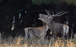 Bursa Ormanları'nda geyik sürprizi