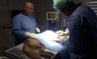 Barınakta ameliyat edildi