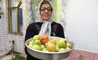 Evinin önüne ektiği domatesten Ocak ayına kadar ürün topladı