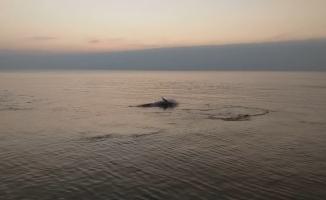 Yunuslar sahilde balık avladı