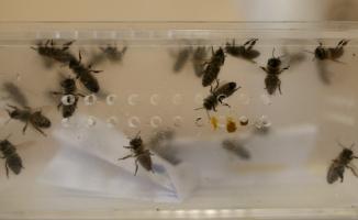(Özel) Hastalıklara şifa arı iğnesi