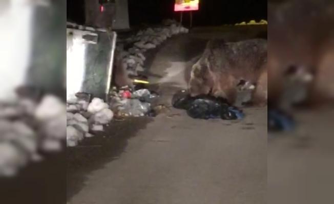 Kış uykusundan uyanan ayılar şaşkın