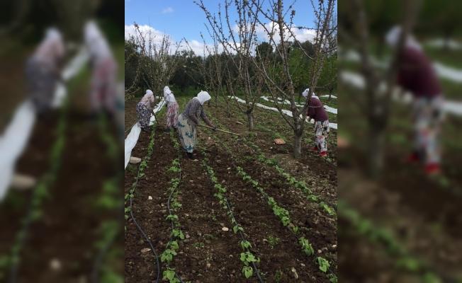 Taze fasulyelerin tohumları çıktı