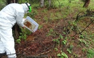 Çam ormanları kuruyordu..Mücadele için terminatör böcekler ormana salındı