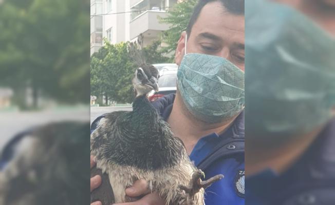 Çiftlikten kaçan tavus kuşu nefes kesen operasyonla yakalandı