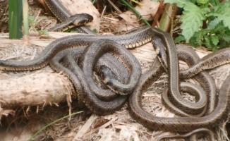 Yılanlar bu defada Uluabat Gölü'nde ortaya çıktı