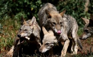 (Özel) Bursa'da 4 yavru kurt anne sütünden kesilerek beslenmeye başladı
