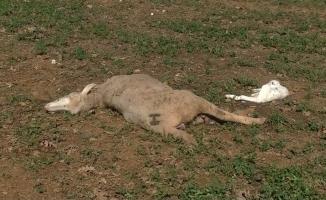 Bursa'da kurtlar sürüye saldırdı