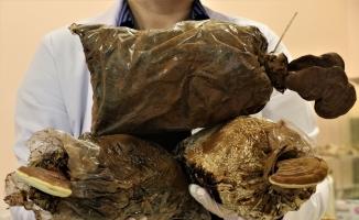 Türkiye'de üretilen reishi mantarı ithâl edilenden 8 kat daha etkili