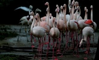 (Özel) Flamingo ailesine 12 yeni üye