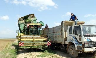 Bursa'da ıspanak hasadı başladı