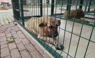 Pitbull saldırısına uğrayan köpek tedaviye alındı