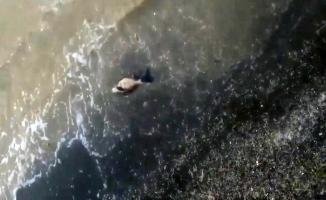Deniz salyaları sebebiyle yavru yunus sahile vurdu