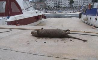 (Özel) Deniz salyaları canlıların sonu oluyor...Balıklardan sonra şimdi de su samuru vurdu