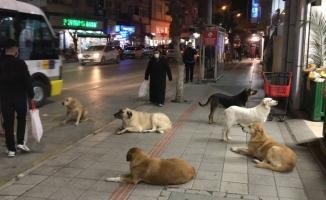 Gemlik'te sokak köpekleri tehlike saçıyor
