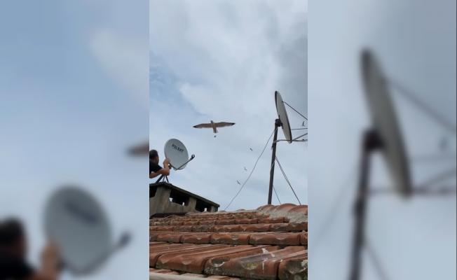 Martılar anten tamircisini çatıda rahat bırakmadı