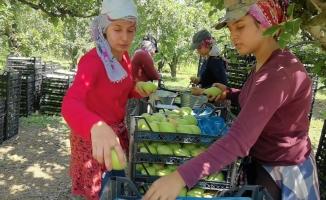 Armut hasadında fiyatlar çiftçiyi mutlu etti