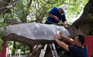 Kosova'daki Osmanlı yâdigârı ağacı Osmangazi yaşatıyor