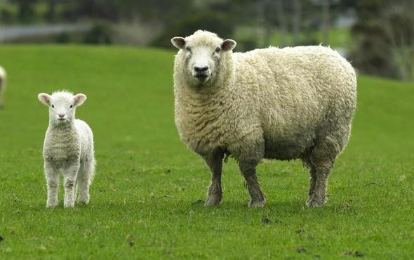 300 koyun ödemesi ne zaman pazarlık masası kurulddu