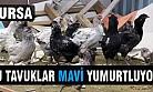 Bursa'da bu tavuklar mavi yumurtluyor!