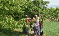 İnegöl'de erkenci kiraz hasadı başladı