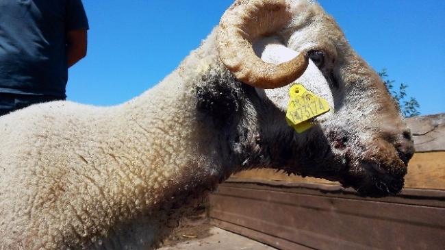 Uludağ'da Kurtlar Koyun Sürüsüne Saldırdı