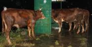Tır'ın Kasasındaki 23 Hayvan Yola Saçıldı