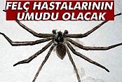 Örümcek zehri felç tedavisinde umut olabilir