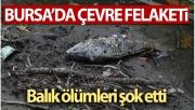 Bursa'da çevre felaketi...Balık ölümleri şok etti